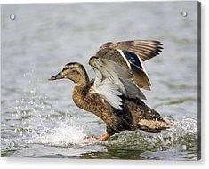 Female Mallard Duck Acrylic Print by John Devries/science Photo Library