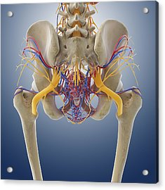 Female Pelvic Anatomy, Artwork Acrylic Print by Science Photo Library