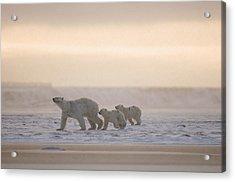 Female Polar Bear With A Pair Of Cubs Acrylic Print