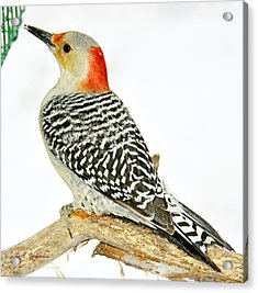 Female Redbellied Woodpecker In Winter Animal Portrait Acrylic Print