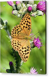 Female Silver-washed Fritillary Acrylic Print by John Devries/science Photo Library