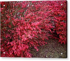 Fire Bush Acrylic Print by Pete Trenholm