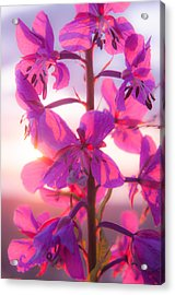 Fireweed At Sunset Acrylic Print