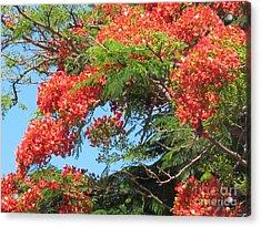 Flamboyants - Ile De La Reunion - Reunion Island Acrylic Print by Francoise Leandre