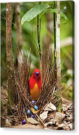 Flame Bowerbird In Bower Animal Art Acrylic Print