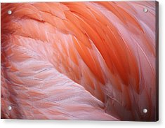 Flamingo Feathers Acrylic Print by Paulette Thomas