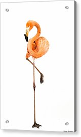Flamingo On White Acrylic Print