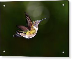 Flight Of A Hummingbird Acrylic Print