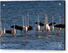 Flock Of Greater Flamingoes  Acrylic Print by Sami Sarkis
