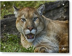 Florida Panther Acrylic Print by Anne Rodkin