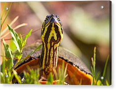 Florida Redbelly Turtle Acrylic Print by Celso Diniz