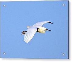 Florida, Venice, Snowy Egret Flying Acrylic Print by Bernard Friel
