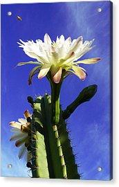 Flowering Cactus 3 Acrylic Print