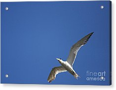 Flying Crested Tern Acrylic Print by Jorgo Photography - Wall Art Gallery