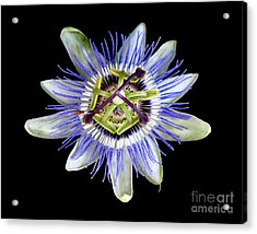 Acrylic Print featuring the photograph Fly's Passion by Jennie Breeze