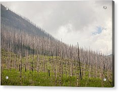 Forest Burnt By Mount Shanks Wild Fire Acrylic Print by Ashley Cooper