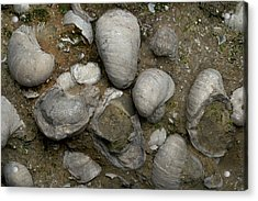 Fossilised Jurassic Oyster Bed Acrylic Print by Sinclair Stammers