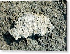 Fossilised Shells Acrylic Print