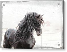 Friesian Magic Acrylic Print
