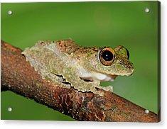 Frilled Tree Frog, Malaysia Acrylic Print