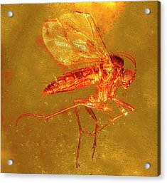 Fungus Gnat In Amber Acrylic Print by Alfred Pasieka/science Photo Library