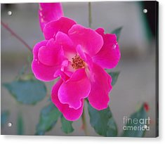 Fushia Knockout Rose 2 Acrylic Print