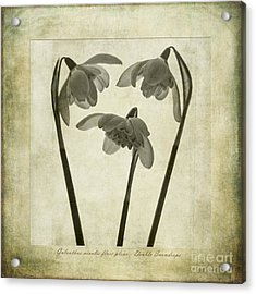 Galanthus Nivalis Flore Pleno Acrylic Print by John Edwards