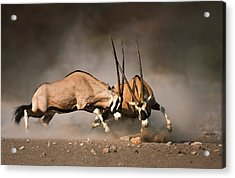 Gemsbok Fight Acrylic Print