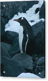 Gentoo Penguin Acrylic Print