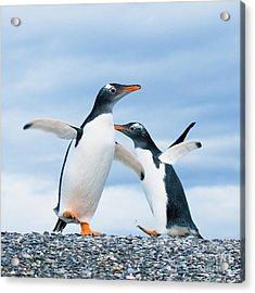 Gentoo Penguins Acrylic Print by Konstantin Kalishko