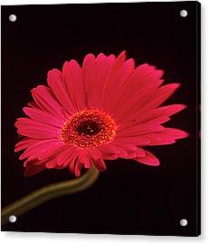 Gerbera Flower Acrylic Print by Mark Thomas/science Photo Library