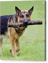 German Shepherds Acrylic Print by David Lester