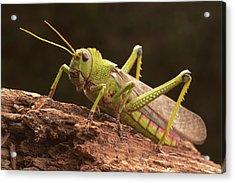 Giant Grasshopper Acrylic Print
