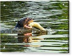 Giant Otter Feeding Acrylic Print by Paul Williams