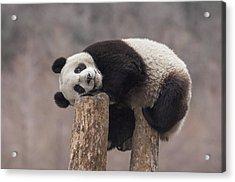 Giant Panda Cub Wolong National Nature Acrylic Print by Katherine Feng