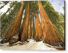 Giant Sequoias Sequoia N P Acrylic Print