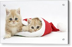 Ginger Kittens In Christmas Hat Acrylic Print