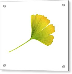 Ginkgo Biloba Leaf Acrylic Print