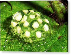 Glass-frog Eggs Acrylic Print by Dr Morley Read