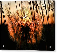 Going To Seed Acrylic Print by Steven Reed
