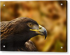 Acrylic Print featuring the photograph Golden Eagle  by Brian Cross