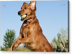 Golden Retriever Catching Tennis Ball Acrylic Print by William H. Mullins