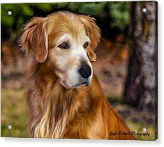 Golden Retriever Acrylic Print by Laird Roberts