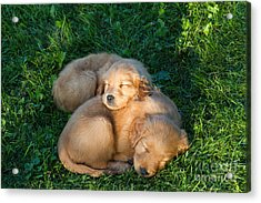 Golden Retriever Puppies Sleeping Acrylic Print by Linda Freshwaters Arndt