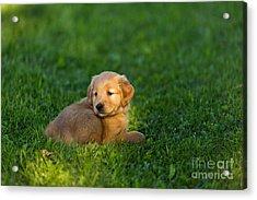 Golden Retriever Puppy Acrylic Print by Linda Freshwaters Arndt