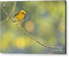 Golden Tanager Acrylic Print