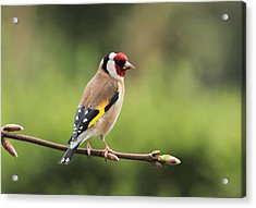 Goldfinch Acrylic Print by Peter Skelton