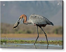 Goliath Heron With Fish Acrylic Print