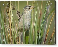 Grass Wren Acrylic Print by John Shaw