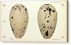 Great Auk Eggs Acrylic Print by Natural History Museum, London